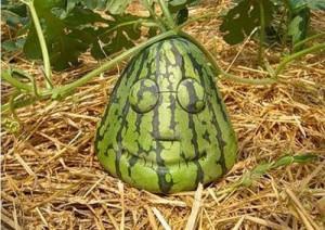 при выборе арбуза обратите внимание на его форму