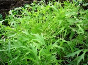 салат из капусты мизуна