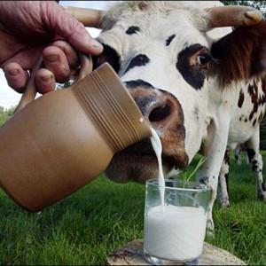 корова тянет морду к стакану с молоком